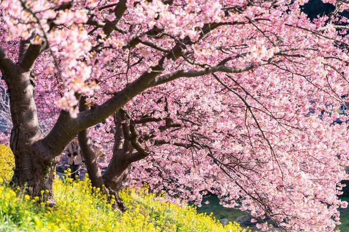 この冬はお花と温泉の旅。静岡・伊豆周辺で1~2月におすすめなお花スポット7選