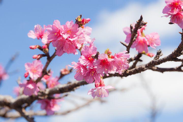 鮮やかなピンクが特徴!いち早くお花見できる沖縄の人気スポット7選。