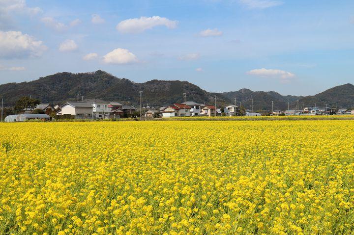 【終了】一面に咲き誇る菜の花が美しい。鴨川の春の風物詩「菜な畑ロード2018」開催