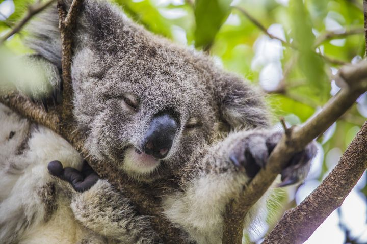 """意外と少ない!オーストラリアで""""コアラの抱っこ""""ができるスポット7選"""