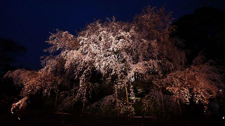 """【終了】夜空に広がる、桜色。六義園で""""桜のライトアップ""""今年も開催決定"""