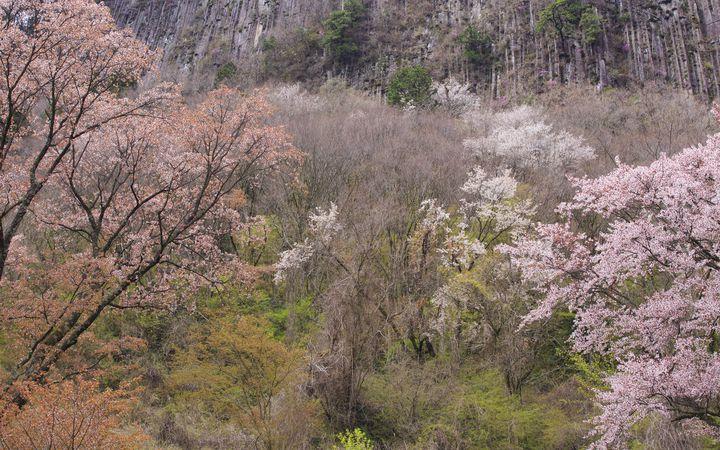 【終了】岩の麓で見られる山桜。屏風岩公苑で桜ライトアップ実施