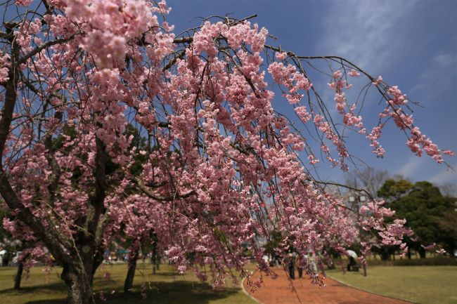 【終了】桜もアートも満開に!福井県で「第8回越前陶芸村しだれ桜まつり」開催