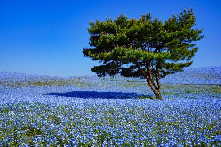 """【終了】今年は今が見ごろ!国営ひたち海浜公園で""""ネモフィラ""""の美しき青の世界へ"""