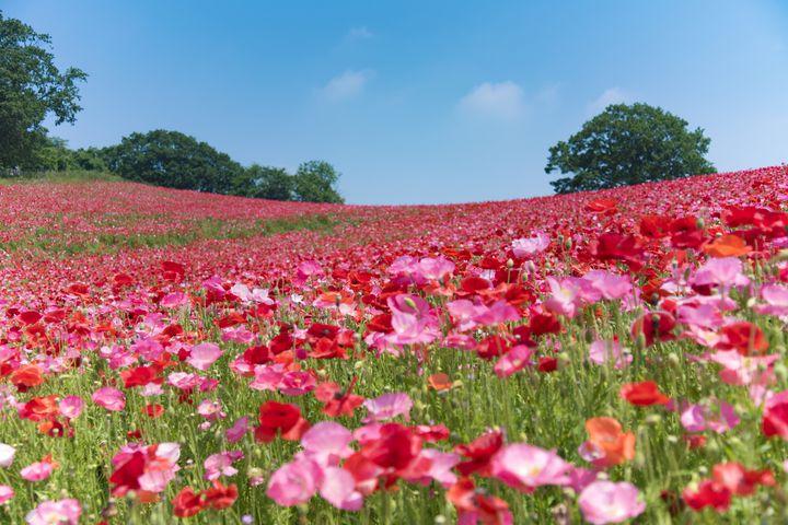 """お花畑に連れてって!この春行きたい絶景""""関東のフラワーフェスティバル""""まとめ"""