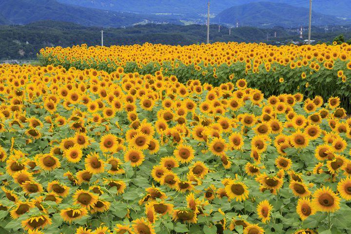 夏はもうすぐ!「明野ひまわり畑」で過ごす1日デートプランはこれだ