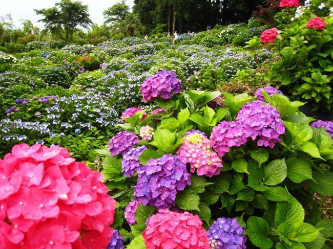 【終了】色とりどりの紫陽花が咲き誇る!佐賀県、大聖寺で「あじさい祭り」開催
