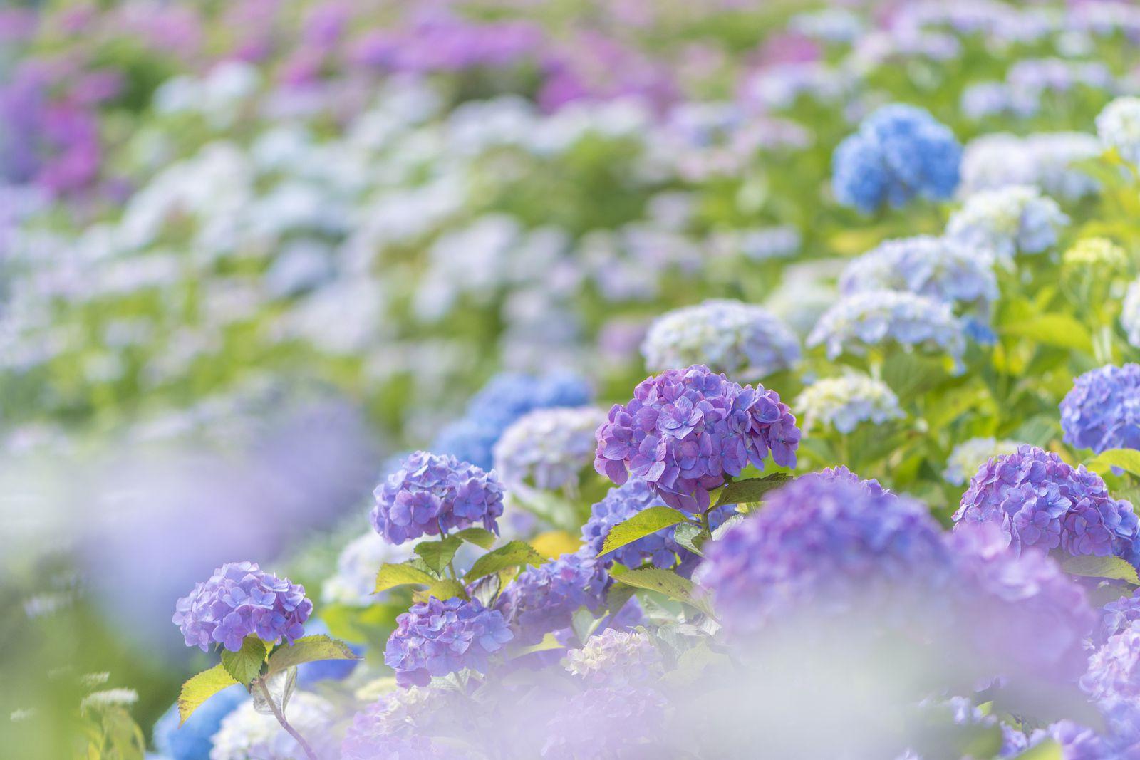 """水も滴る美しい梅雨の花。6月に行きたい関東の""""紫陽花スポット""""12選                当サイト内のおでかけ情報に関してこのまとめ記事の目次"""
