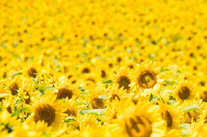 """黄色に染まる、君との思い出。この夏行きたい日本の絶景""""ひまわり畑""""16選"""