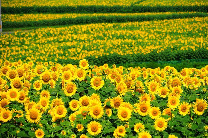 黄色の絶景!宮城県大崎市三本木の「ひまわりの丘」に注目!