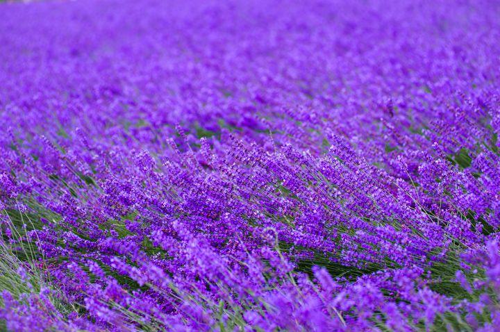 花言葉は「あなたを待っています」。日本全国のラベンダー畑まとめ40選【エリア別】