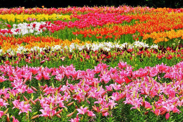 東北の7月は満開でした。7月の東北で見られる花の絶景7選