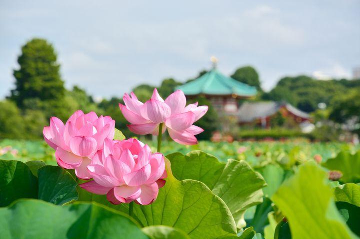 """夏来たる、揺れる恋とハスの花。""""夏の上野周辺1日デート""""で巡りたい9つのスポット"""