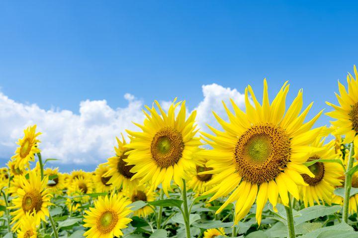 写真フォルダを黄色一色に染めちゃって!8月でも見られる関東近郊のひまわり畑10選