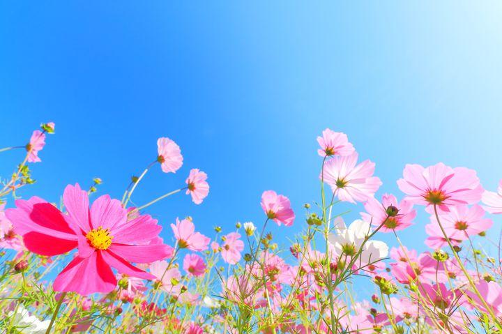 800万本が咲き誇る!京都・亀岡の「夢コスモス園」に行きたい