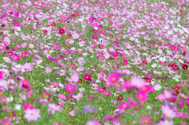 【終了】首都圏最大級の鮮やかな絶景!国営昭和記念公園で「コスモスまつり」開催