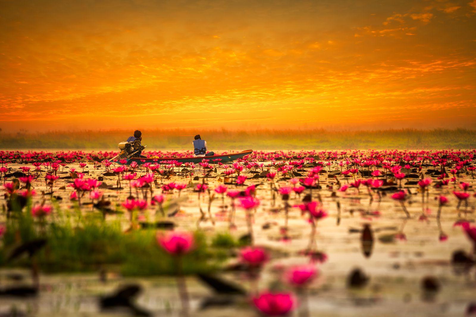 """湖面を染める""""ピンク""""の花畑! タイの""""レッド・ロータス・レイク""""に ..."""