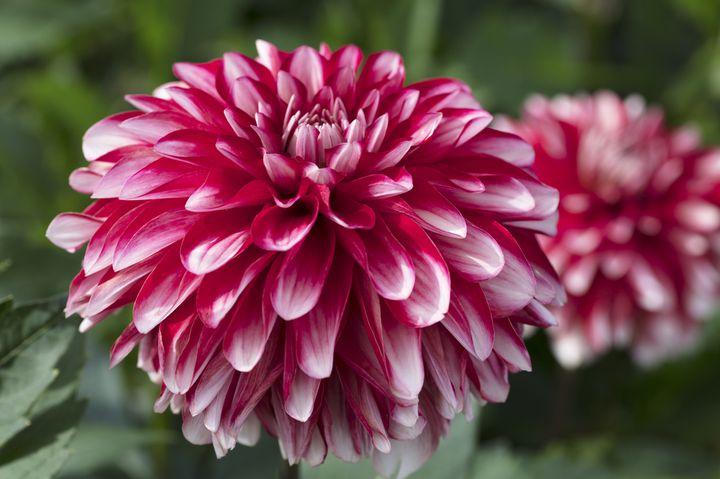 【開催中】150種300株が咲く!上野東照宮にダリアを見に行こう