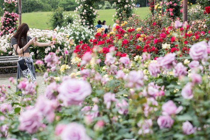 【終了】1600株のバラの香りに包まれる。「秋バラフェスタ」群馬で開催
