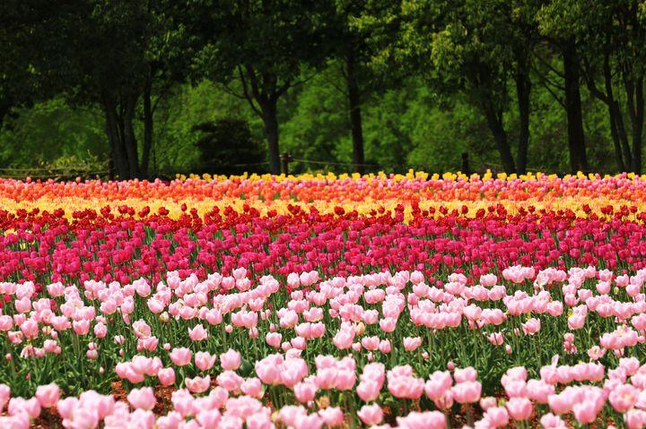 【終了】ゴールデンウィークのおでかけに!広島県で「世羅高原農場 チューリップ祭」開催