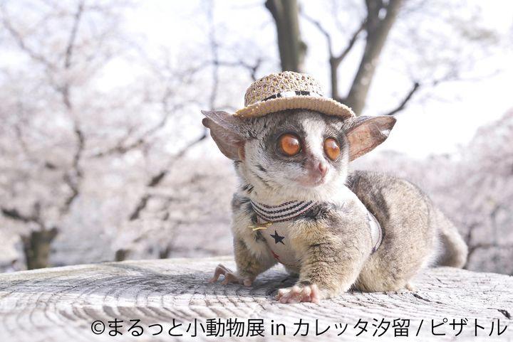 【終了】可愛いショウガラゴが仲間入り!汐留で「まるっと小動物展」開催