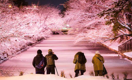 【終了】冬に楽しむ満開の桜!青森・弘前公園で「冬に咲くさくらライトアップ」開催