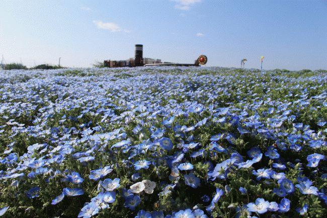 """""""約50万本がつくる青い海""""が出現!ソレイユの丘の「ネモフィラ」見頃はいつ?"""