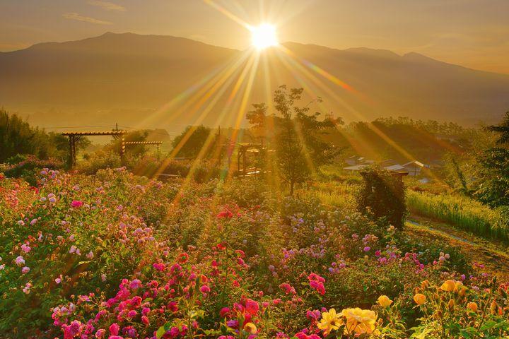 【終了】香川のアンコールワットでバラが楽しめる?「春の大バラまつり」開催