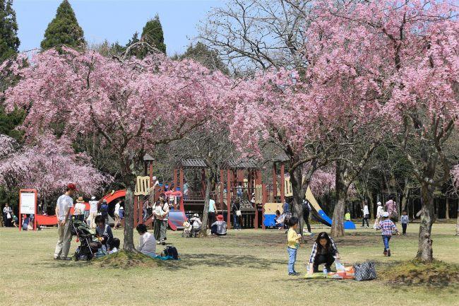 【終了】桜もアートも満開!福井県越前町・越前陶芸村で「越前陶芸村しだれ桜まつり」開催