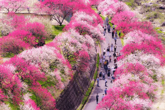【終了】日本一の桃源郷!長野県阿智村で「昼神花まつり」と「花桃まつり」開催