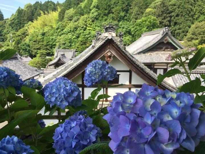 【開催中】京都最大規模!長岡京市の柳谷観音にて「あじさいウイーク」開催