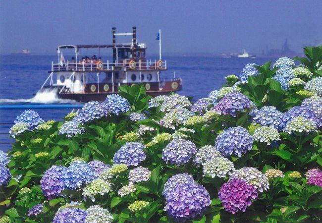 【開催中】県内最大級!2万株のあじさいが咲き誇る「八景島あじさい祭」開催