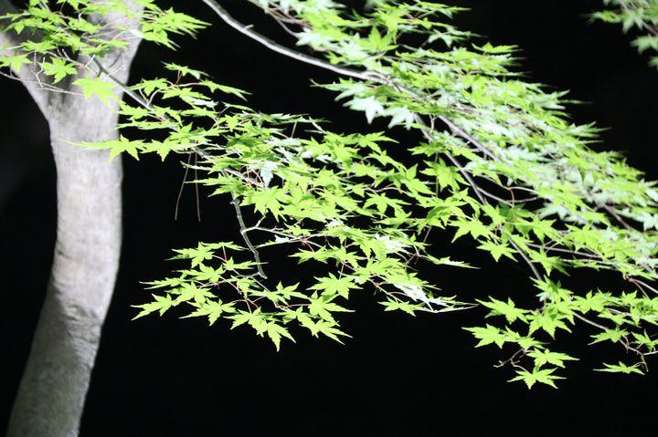 【終了】都心から2時間、埼玉県長瀞にて青もみじのライトアップイベントが開催