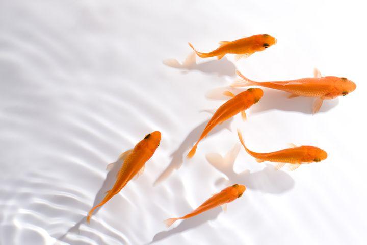 【開催中】優雅に泳ぐ夏の風物詩を学ぼう!「~金魚のお祭り~夏の大金魚展」が山梨県で開催