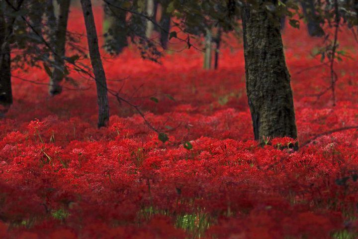 【終了】真っ赤な花火のようなお花が咲き誇る。「入田ヤナギ林の曼珠沙華」が見ごろ