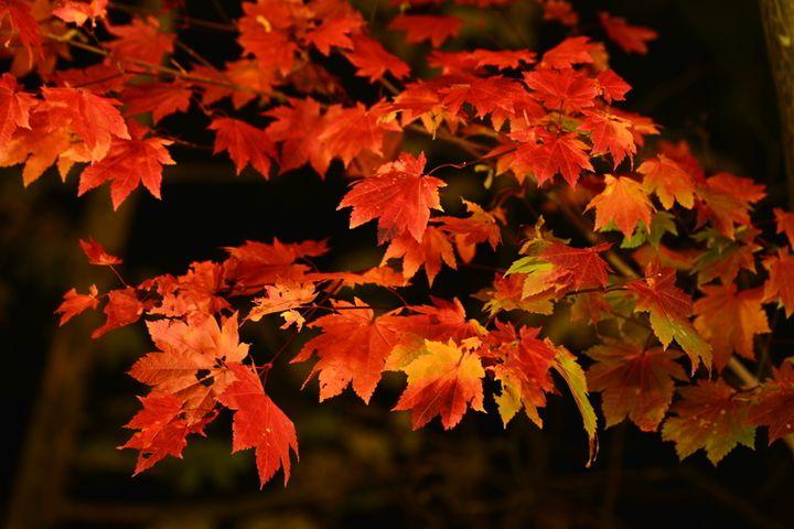 """【終了】""""日本一早い紅葉""""を幻想的にライトアップ! 北海道で「奇跡のイルミネートII」開催"""