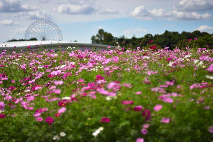 【明日まで】秋のお出かけにおすすめ!「モリコロパーク コスモスフェスタ」開催