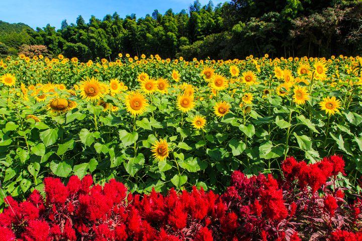 この秋行きたいひまわり畑。「山田ひまわり園」の秋に咲くひまわりが見頃を迎える