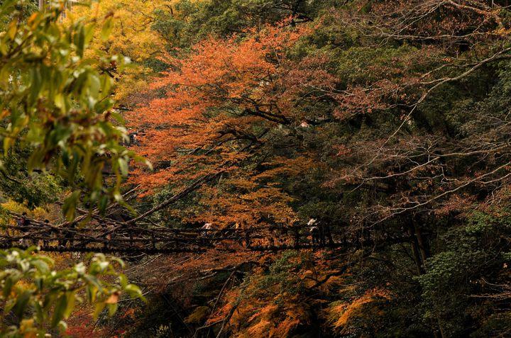 恐怖と神秘は紙一重!徳島・祖谷渓のかずら橋は紅葉の時期に絶景を作りだす。