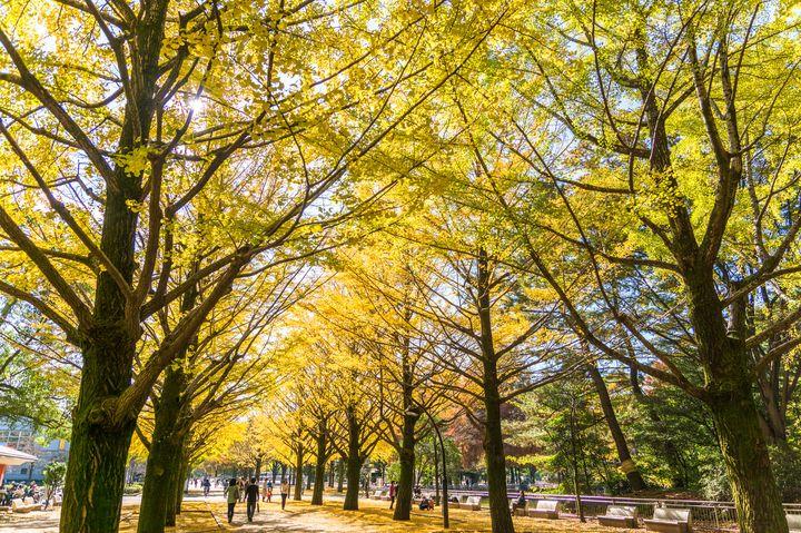 紅葉が奏でる黄金のトンネル。光が丘公園の「イチョウ並木」を見に行こう