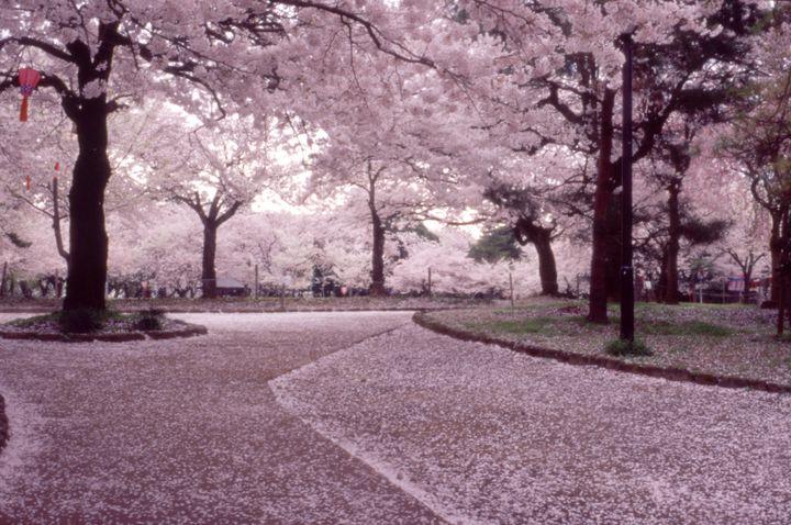 桜×ぼんぼりで幻想的な夜を。富山県・高岡古城公園の桜に酔いしれる。