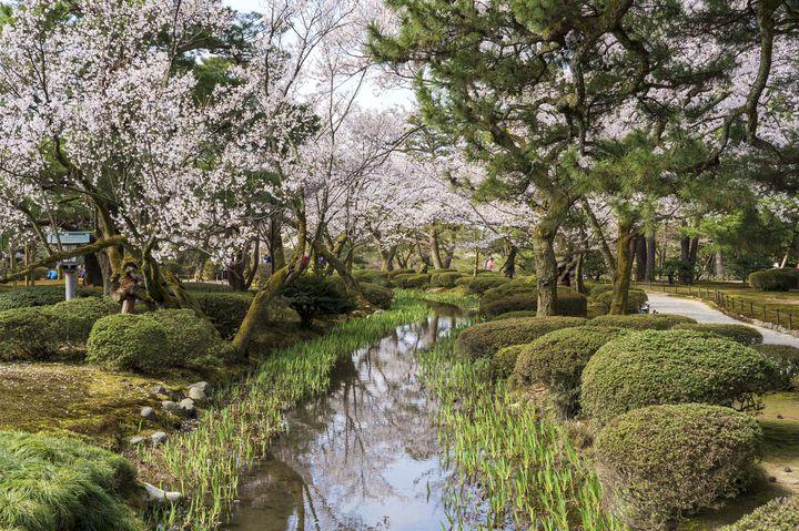 桜と日本庭園のコラボレーション。国の特別名勝「兼六園」で桜を楽しむ。