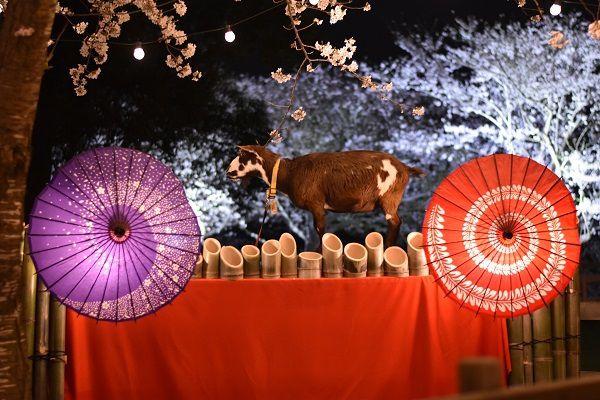"""【終了】""""和×夜桜×動物"""" 牧場ならではの夜のお花見 。成田ゆめ牧場で「夜桜ライトアップ」開催"""