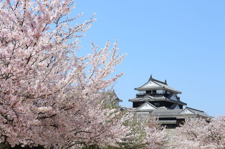 【終了】天守閣×桜で歴史ある春を感じる。愛媛県・松山城にて桜が見ごろ