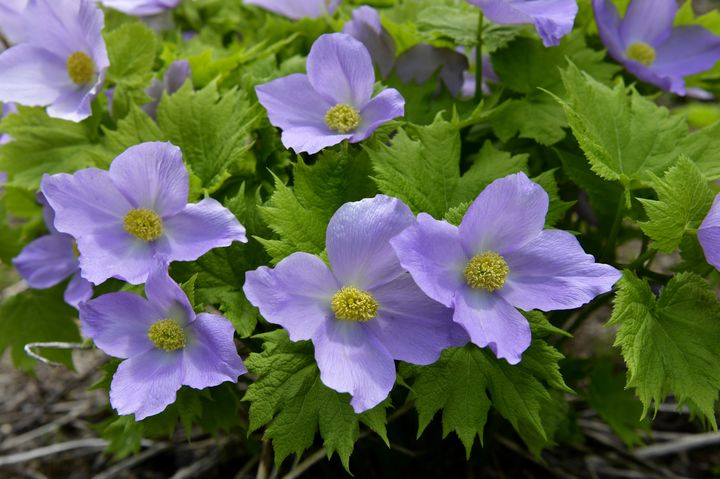 淡い紫に癒される。「シラネアオイと春の野の花まつり」北海道で開催