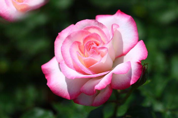 【終了】長崎県でバラが見頃に。「九十九島動植物園」にて春のローズフェスティバル開催!
