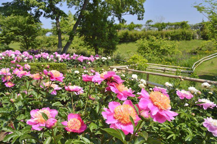 【終了】美しさの象徴「芍薬」を見にいこう!青森県で「芍薬まつり 2020」開催