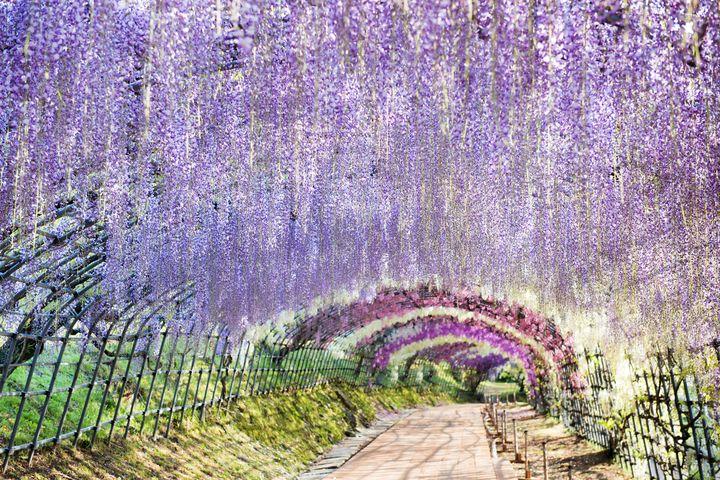 世界の絶景10!宣伝は一切ナシの「河内藤園」の藤棚が幻想的な美しさ