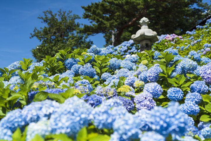 梅雨の訪れを感じて。北海道の紫陽花おすすめスポット7選