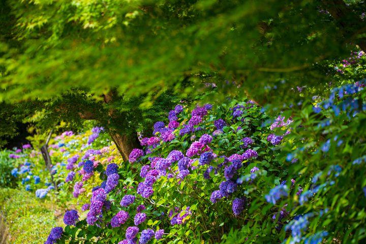 梅雨の季節だけの絶景!中国地方で外せない紫陽花スポットLIST